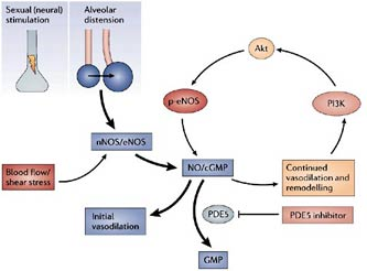 How PDE-5 inhibitors work